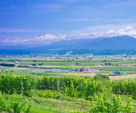 北海道 自然 風景   青空と新緑のぶどう畑の写真素材 [FYI03134627]