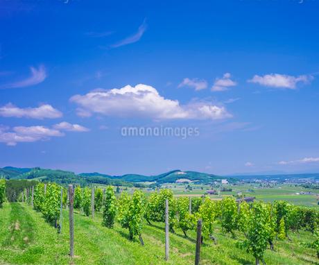 北海道 自然 風景   青空と新緑のぶどう畑の写真素材 [FYI03134629]