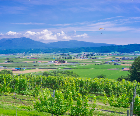 北海道 自然 風景   青空と新緑のぶどう畑の写真素材 [FYI03134632]