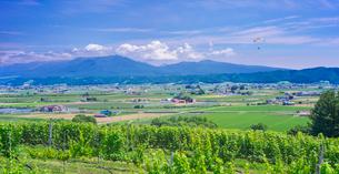北海道 自然 風景 パノラマ   青空と新緑のぶどう畑の写真素材 [FYI03134634]