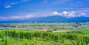 北海道 自然 風景 パノラマ   青空と新緑のぶどう畑の写真素材 [FYI03134637]