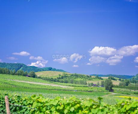 北海道 自然 風景   青空と新緑のぶどう畑の写真素材 [FYI03134641]