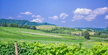 北海道 自然 風景 パノラマ   青空と新緑のぶどう畑の写真素材 [FYI03134643]