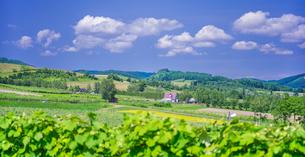 北海道 自然 風景 パノラマ   青空と新緑のぶどう畑の写真素材 [FYI03134647]
