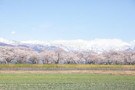 桜の写真素材 [FYI03134725]