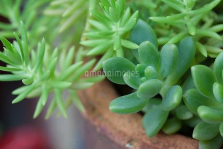 多肉植物の写真素材 [FYI03134931]