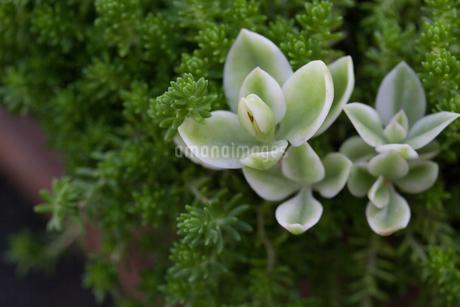 多肉植物の写真素材 [FYI03134948]