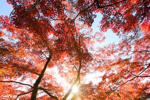 代々木公園の紅葉の写真素材 [FYI03135060]