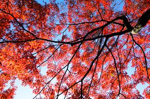 代々木公園の紅葉の写真素材 [FYI03135061]