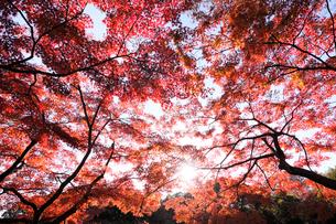 代々木公園の紅葉の写真素材 [FYI03135062]
