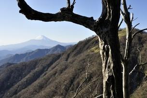 丹沢山の枯れ木と富士山の写真素材 [FYI03135285]