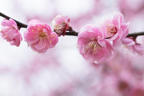 梅の花の写真素材 [FYI03135774]