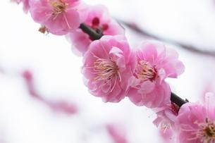 梅の花の写真素材 [FYI03135775]