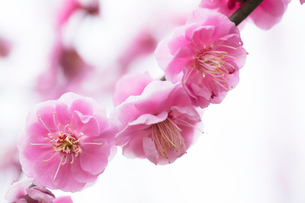 梅の花の写真素材 [FYI03135777]