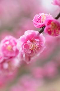梅の花の写真素材 [FYI03135778]