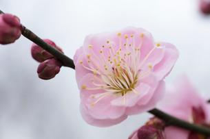 梅の花の写真素材 [FYI03135779]
