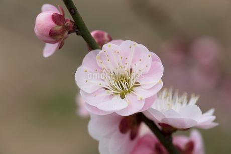 梅の花の写真素材 [FYI03135780]