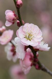 梅の花の写真素材 [FYI03135781]