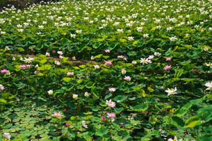 日本最北のハスの池の写真素材 [FYI03135843]
