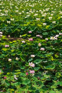 日本最北のハスの池の写真素材 [FYI03135845]
