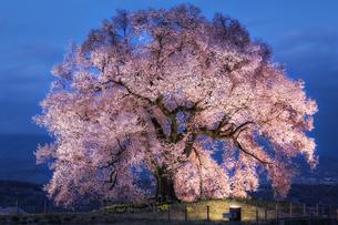 山梨県・わに塚の一本桜のライトアップの写真素材 [FYI03135865]