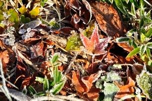 凍て付く紅葉の写真素材 [FYI03135895]