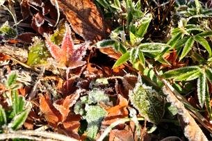 凍て付く紅葉の写真素材 [FYI03135897]