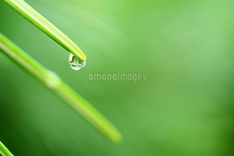 針葉樹の葉先に付いた雫の写真素材 [FYI03135925]