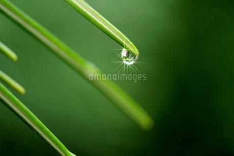 針葉樹の葉先に付いた雫(反射光あり)の写真素材 [FYI03135926]