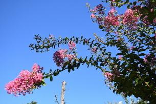 奈良公園(ピンク花)の写真素材 [FYI03135936]