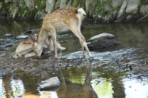 奈良公園河川シカ2の写真素材 [FYI03135940]