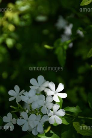 鶴見緑地庭園(白い花)の写真素材 [FYI03135958]