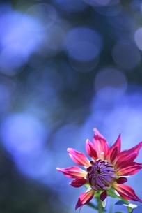 ダリア写真 花写真素材の写真素材 [FYI03135966]