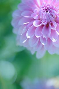ダリア写真 花写真素材の写真素材 [FYI03135968]