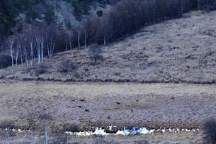 霧ヶ峰高原氷る踊場湿原に餌を求めるシカの群れの写真素材 [FYI03136308]