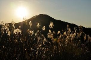 朝陽で黄金色に輝くススキの写真素材 [FYI03136511]