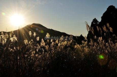 朝陽で黄金色に輝くススキの写真素材 [FYI03136512]