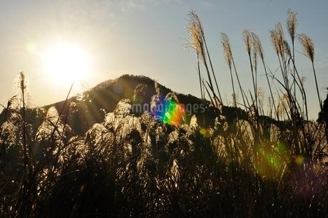 朝陽で黄金色に輝くススキの写真素材 [FYI03136513]