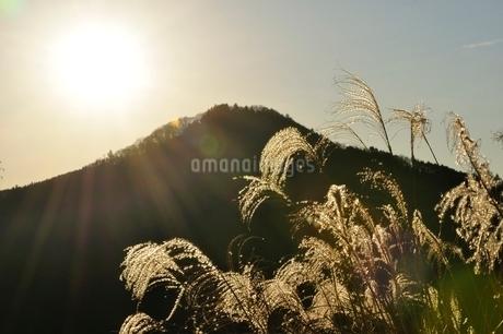 朝陽で黄金色に輝くススキの写真素材 [FYI03136514]