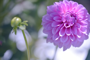 ダリア写真 花写真素材の写真素材 [FYI03136652]