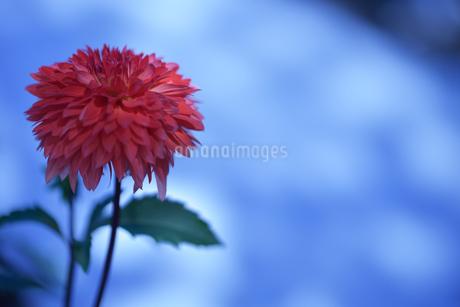 ダリア写真 花写真素材の写真素材 [FYI03136653]