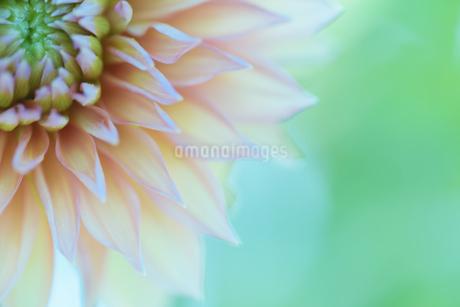 ダリア写真 花写真素材の写真素材 [FYI03136654]