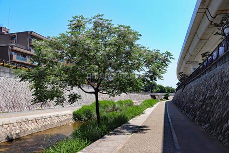 川に生えた枝分かれの木の写真素材 [FYI03136816]