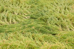 倒れた稲の写真素材 [FYI03136980]