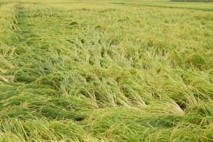 強風で倒れた稲の写真素材 [FYI03136981]