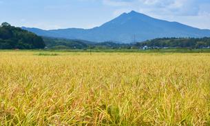 稲穂と筑波山の風景の写真素材 [FYI03136985]