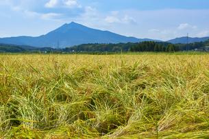 稲刈り前の田園風景の写真素材 [FYI03136988]