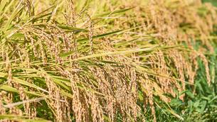 収穫を迎えた稲穂の写真素材 [FYI03136992]