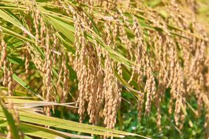 収穫前の稲穂の写真素材 [FYI03136999]