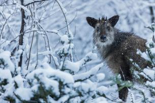 雪景色の中のニホンカモシカの写真素材 [FYI03137031]